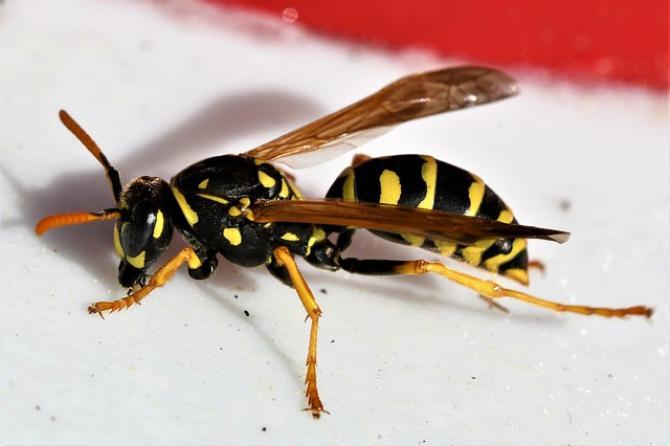 combatere viespi